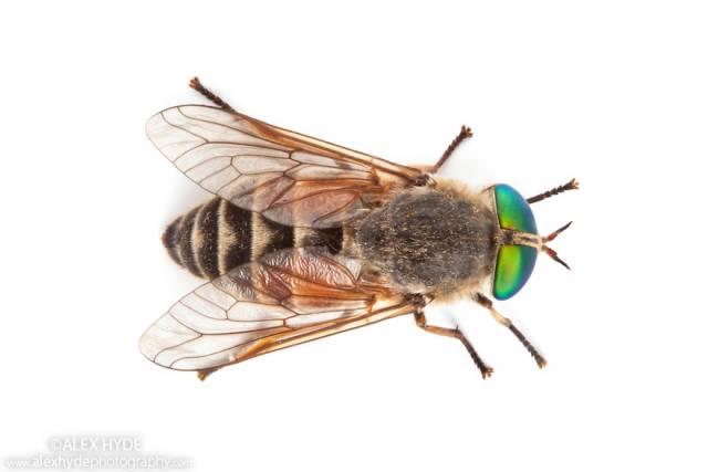 ah-horsefly-philipomyia-aprica-5279