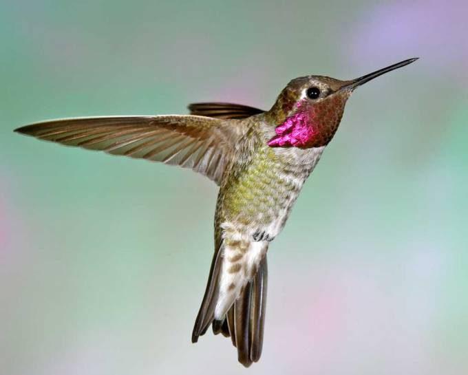 Anna%27s_Hummingbird_b13-44-004_l