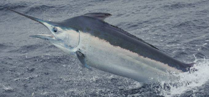 Black marlin shot gibson
