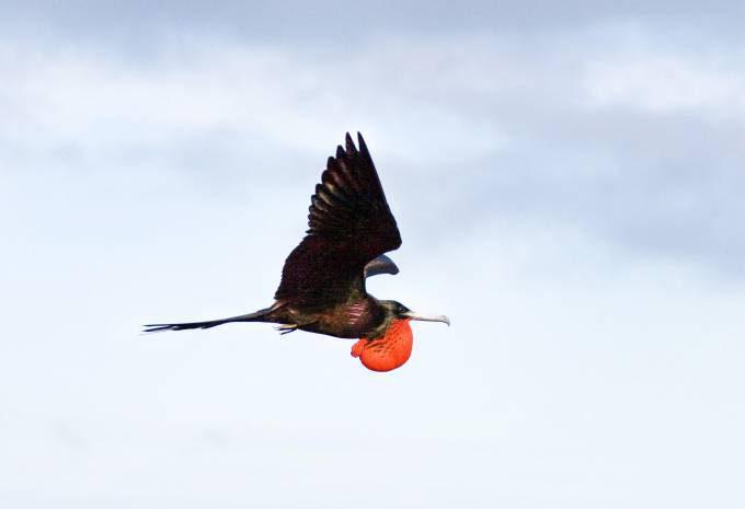 Magnificent Frigatebird l07-49-080_V