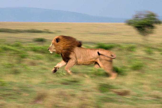 Running Lion (Color)-CROPPED