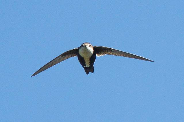White-throated Needletail Swift (carolinabirds_org)
