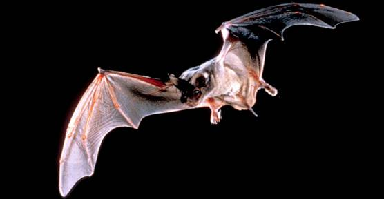 bat-mexican-free-tailed-flight