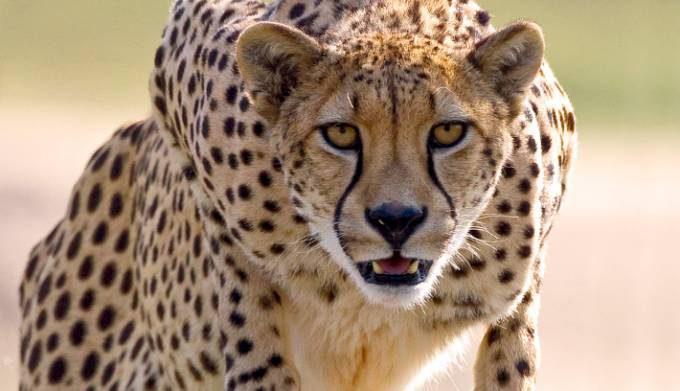 cheetah_05