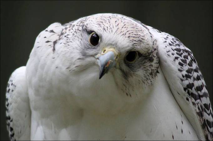 gyrfalcon__by_evey_eyes-d5lhlo8