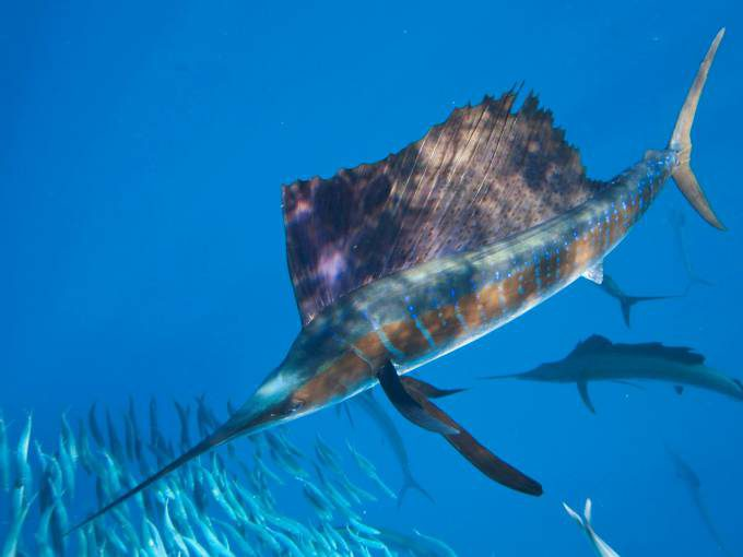 sailfish-12