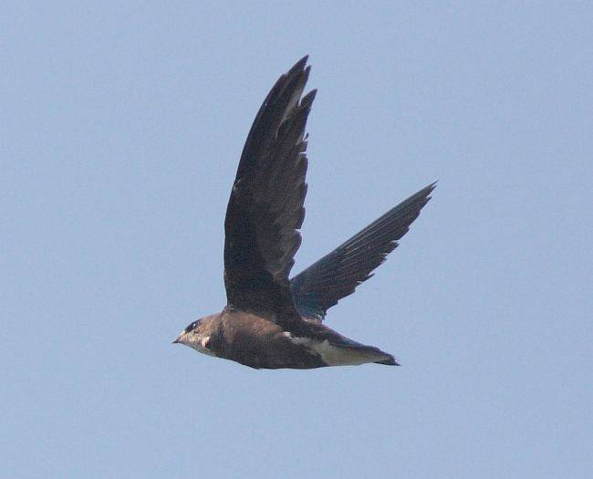 whitethroatedneedletail_potoi_090416gw