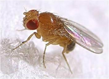 แมลงวันผลไม้1