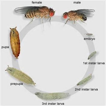 แมลงวันผลไม้3