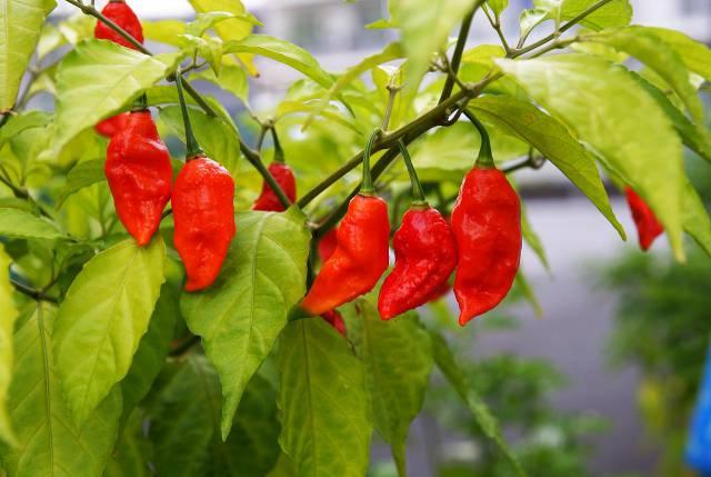 1458793733-bhut-jolokia-pepper