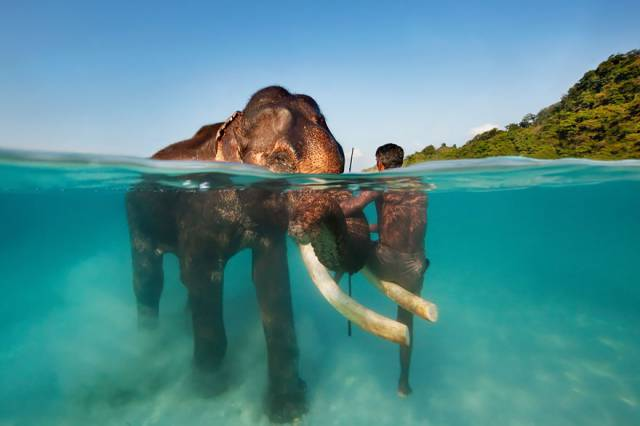 15 Rajan The Swimming Elephant