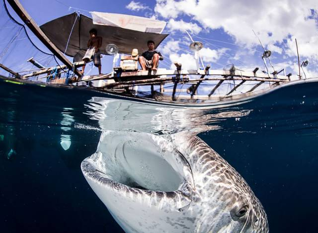 23 Interaction Between Whale Sharks And Local Fishermen In Papua Indonesia