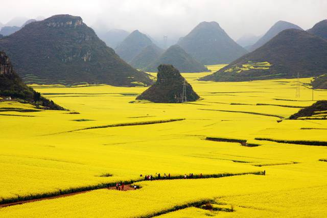 25 Canola Flower Fields