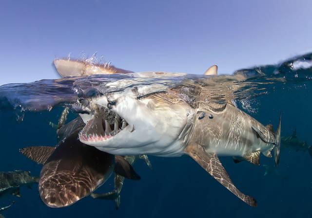 37 Sharks