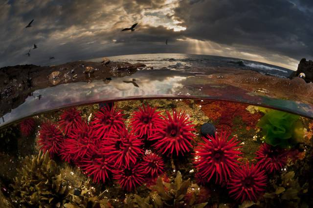 38 Crimson Tide Waratah Anemones, Port Kembla, Nsw Australia