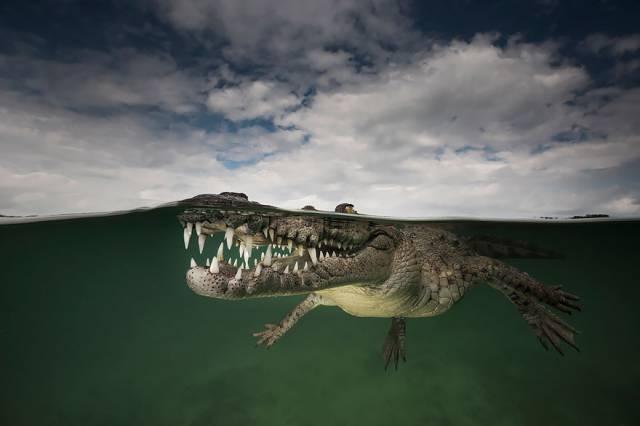 7 American Crocodile, Jardines De La Reina, Cuba