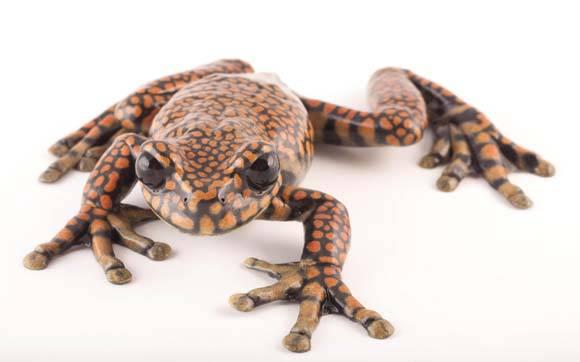 hyloscirtusprincecharlesifrog