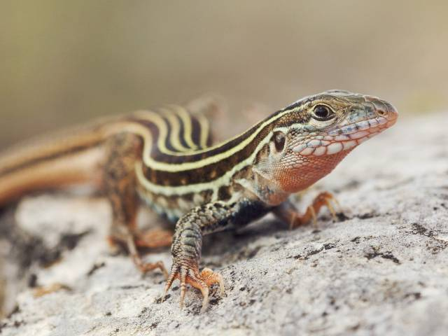 texas_spotted_whiptail_lizard
