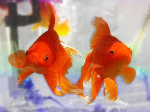 1364852936-goldfish1-o