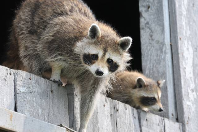 baby-raccoon-1056830_960_720