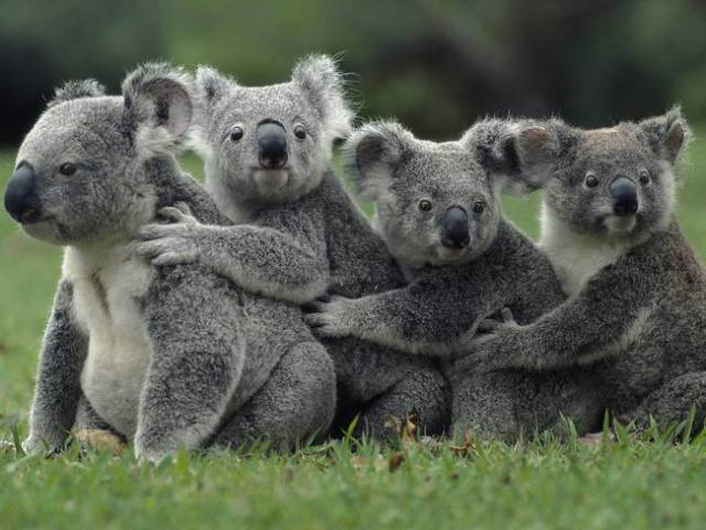 koala-facts-12