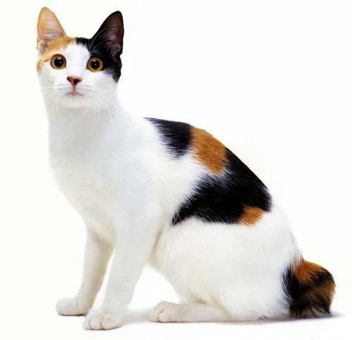 10 สายพันธุ์แมวที่ถูก Quot สร้าง Quot ขึ้นมาเพื่อสนองความ Quot ต้องการ