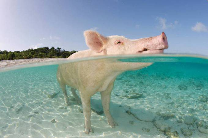 22. Pig Beach in the Bahamas