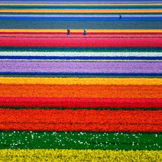 4. ทุ่งดอกทิวลิปในเนเธอร์แลนด์