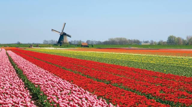 4. ทุ่งดอกทิวลิปในเนเธอร์แลนด์1