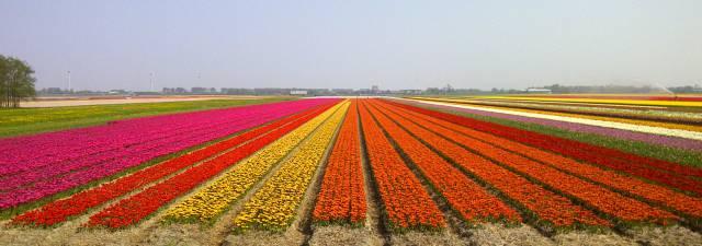 4. ทุ่งดอกทิวลิปในเนเธอร์แลนด์9