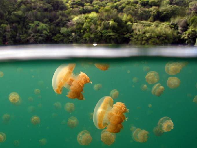 6. Jellyfish Lake in Palau