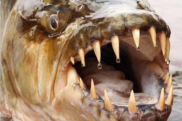 killer-fish-goliath-tigerfish-pictures1