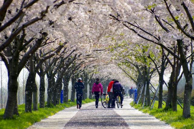 11. Cherry Blossom Road in Busan, South Korea