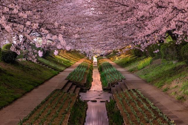 12. Cherry Blossom in Yokahoma, Japan