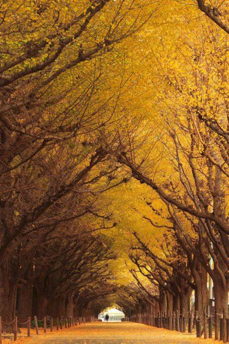 24. Ginkgo Tree Tunnel in Japan