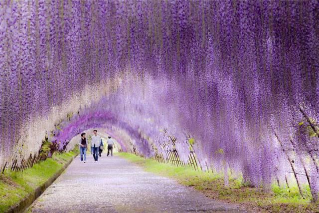 5. Wisteria Flower Tunnel, Japan