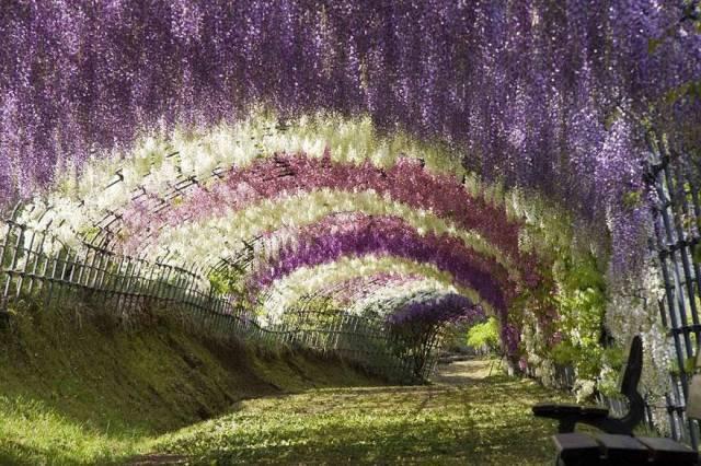 5. Wisteria Flower Tunnel, Japan1