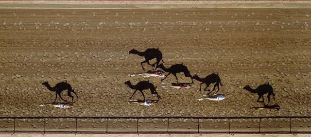7. การแข่งขันอูฐ ที่อัล มาร์มูน, ดูไบ ประเทศสหรัฐอาหรับอามิเรตส์