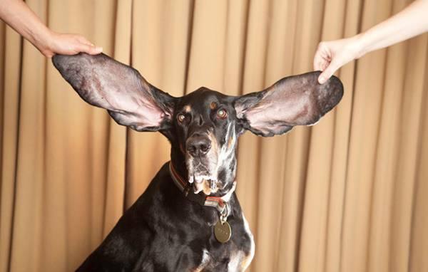 9. สุนัขที่มีหูกางที่สุดในโลก
