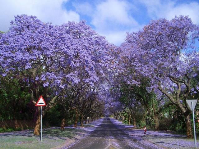 9. Jacarandas Walk in South Africa