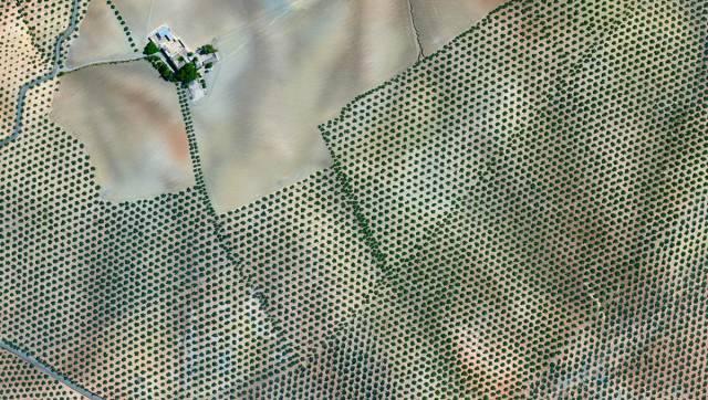 9. Olive Tree Plantation