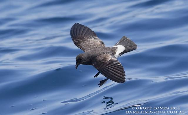 New Zealand Storm Petrel ( Fregetta maoriana ) NZ-NZSP-08 Hauraki Gulf NZ Jan 2014-L