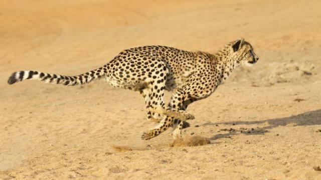cheetah-running-680x383