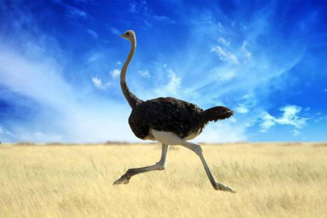 ostrich-680x453