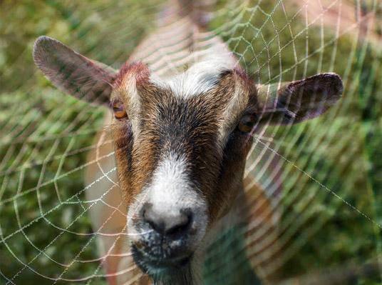 7-%e0%b9%81%e0%b8%9e%e0%b8%b0%e0%b9%81%e0%b8%a1%e0%b8%87%e0%b8%a1%e0%b8%b8%e0%b8%a1-spider-goats
