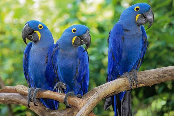 bluehyacinthmacaw3
