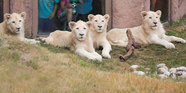 toronto-zoo-white-lion-cubs-10-months-10