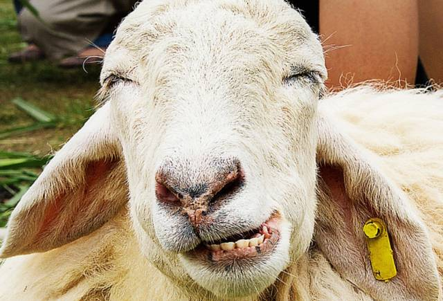 life-prediction-from-the-view-of-the-lower-front-teeth-sheep