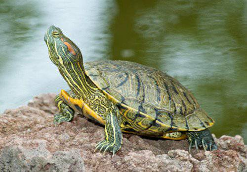 red-eared-slider-271112-04