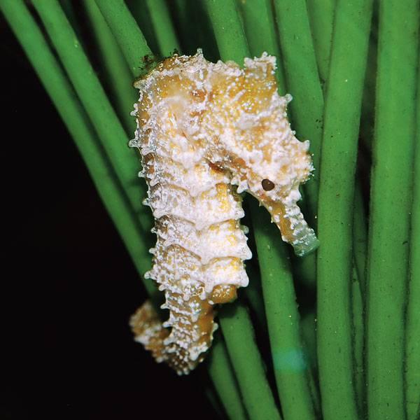 seahorse600